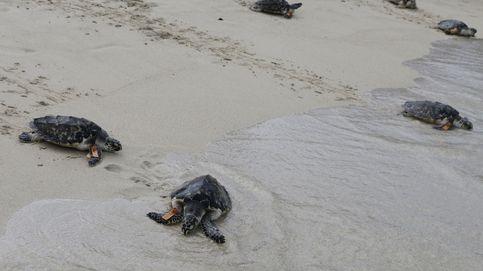 Casi 100 tortugas en peligro de extinción nacen en Brasil gracias a la cuarentena