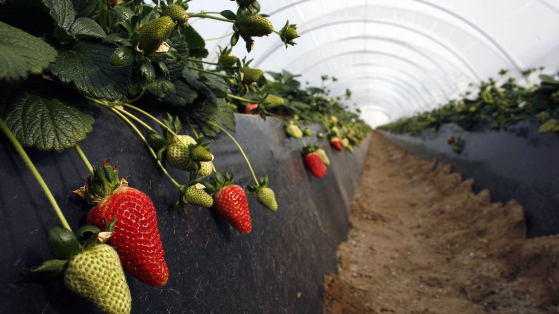 Invernaderos de fresas en Rociana. (Reuters)