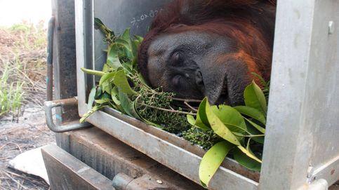 Incendios amenazan a los orangutanes en Indonesia