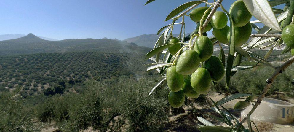 Foto: Una vista de un olivar de Jaén. (EFE)