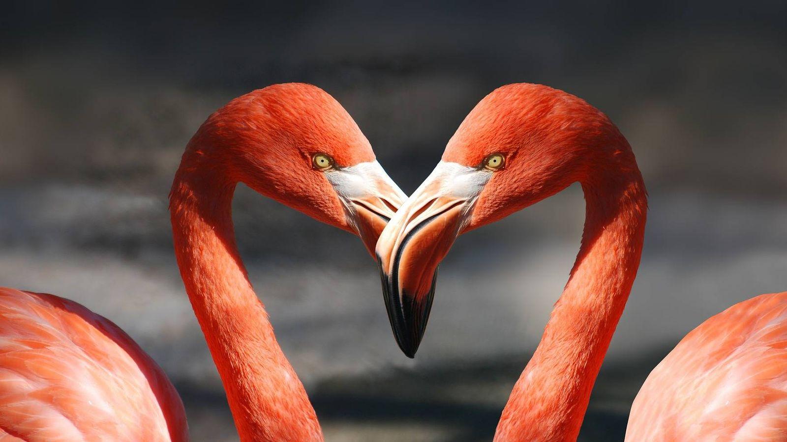 Foto: Dos flamencos forman un corazón. (Pixabay)