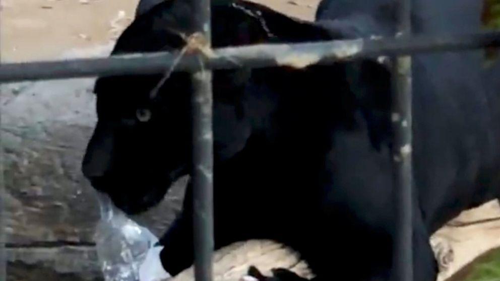 Un jaguar ataca a una mujer que se acercó a su jaula para hacerse un selfie