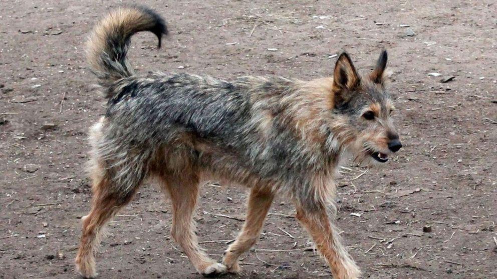 La sangrienta campaña para un Mundial de Rusia sin perros callejeros