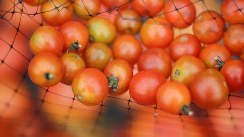 Basta de productos exóticos. ¡Que vuelva el tomate!