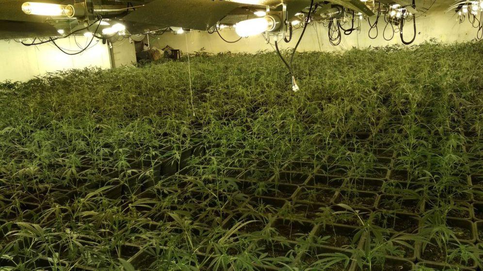 Foto: Planta de marihuana que cultivaba una mafia china en Madrid. (EFE)