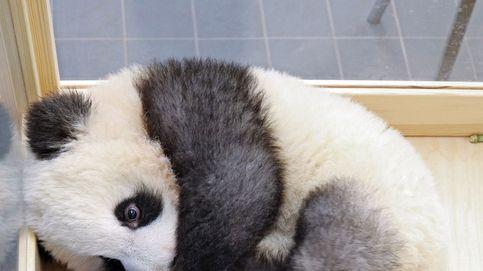 Así viven los gemelos de oso panda en Berlín
