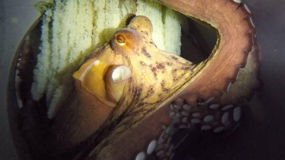 Foto: Lourditas, primer pulpo de acuicultura en reproducirse. Imagen de la puesta de huevos en julio 2019. (Pescanova)