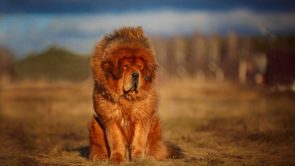 7f5a4c5b3 El mastín tibetano alcanza un precio desorbitado. Su característico  parecido al león y su sentido de la protección hacen de él un can a precio  de lujo