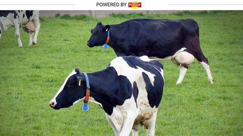 Las vacas también llevan 'wearables'