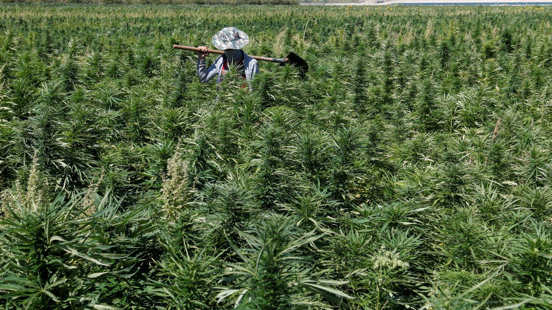 Plantación de cannabis en el Líbano. (Reuters)