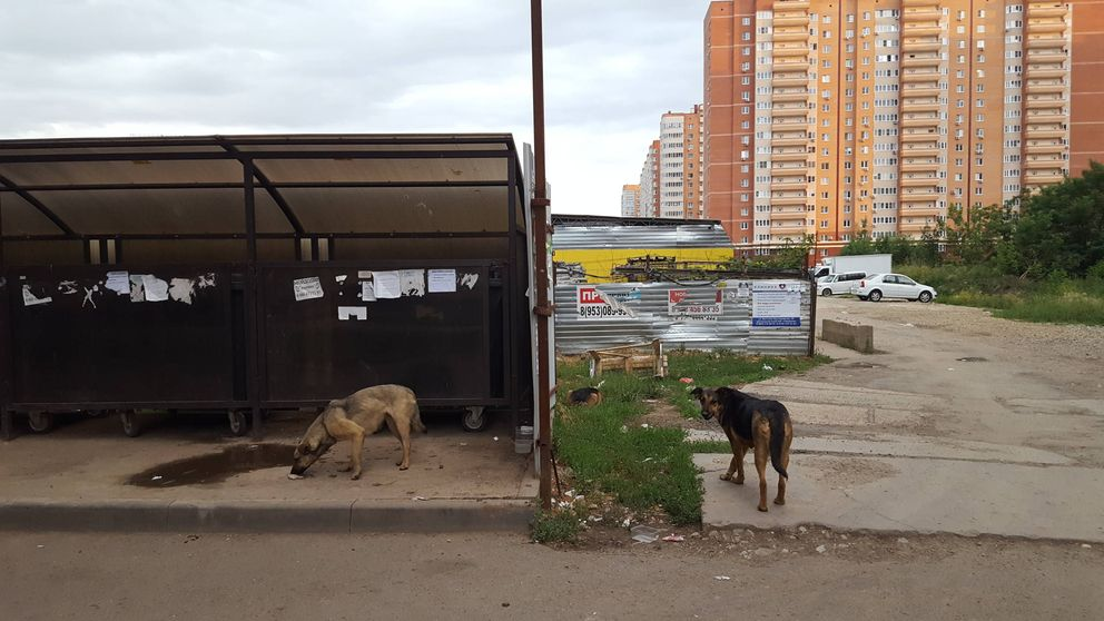 Canicidio en Rusia: Mataron mis perros por el Mundial, hace 10 años que venían