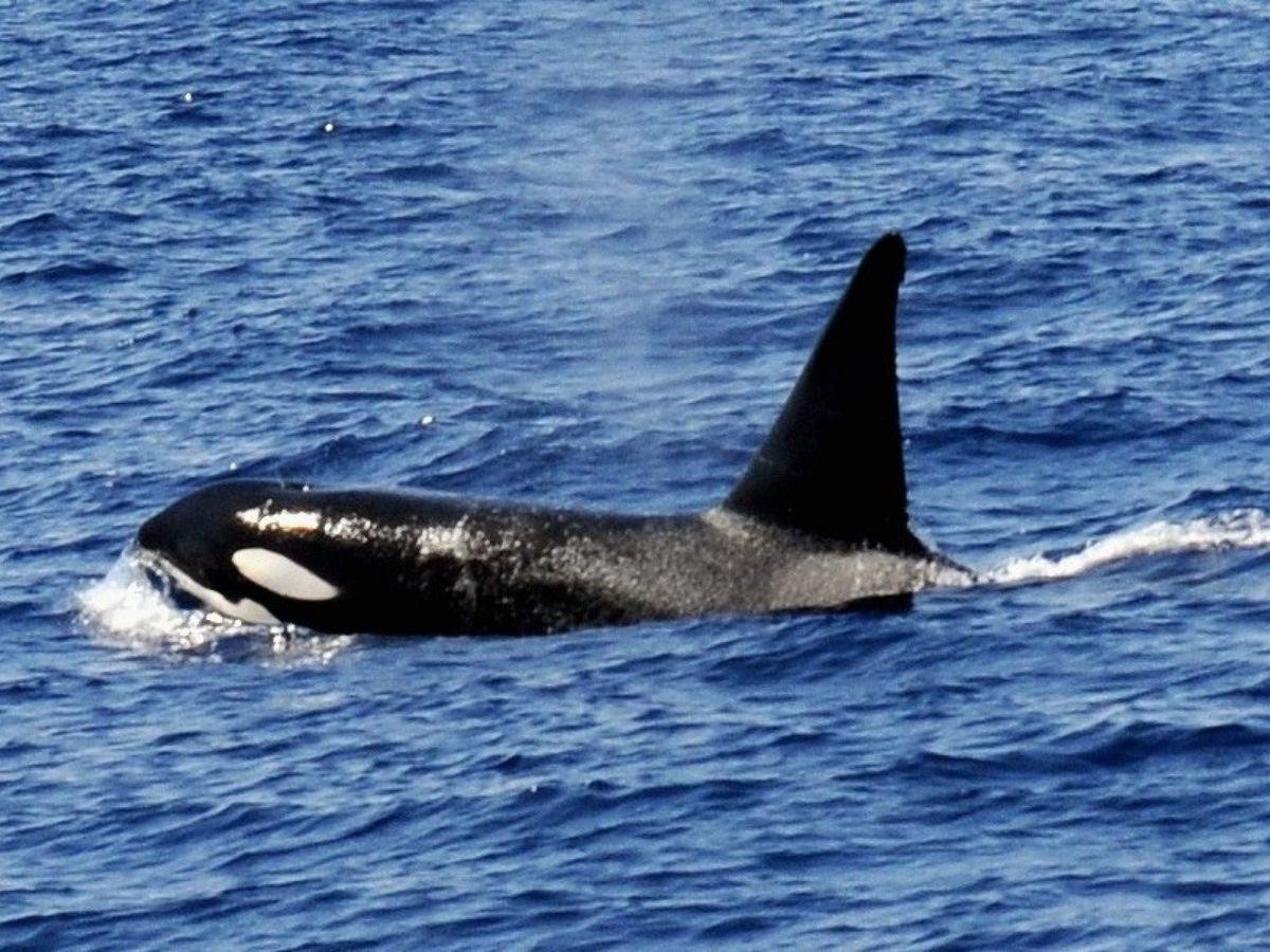 Foto: Una orca, nadando en el sur de Gran Canaria. (EFE)