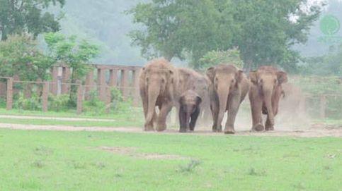 El emotivo recibimiento de una manada de elefantes a una cría rescatada
