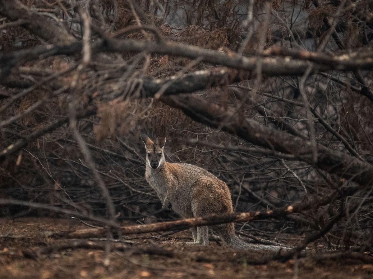 Foto: Secuelas de los incendios forestales en Cobargo, Nueva Gales del Sur. Foto: EFE James Gourley