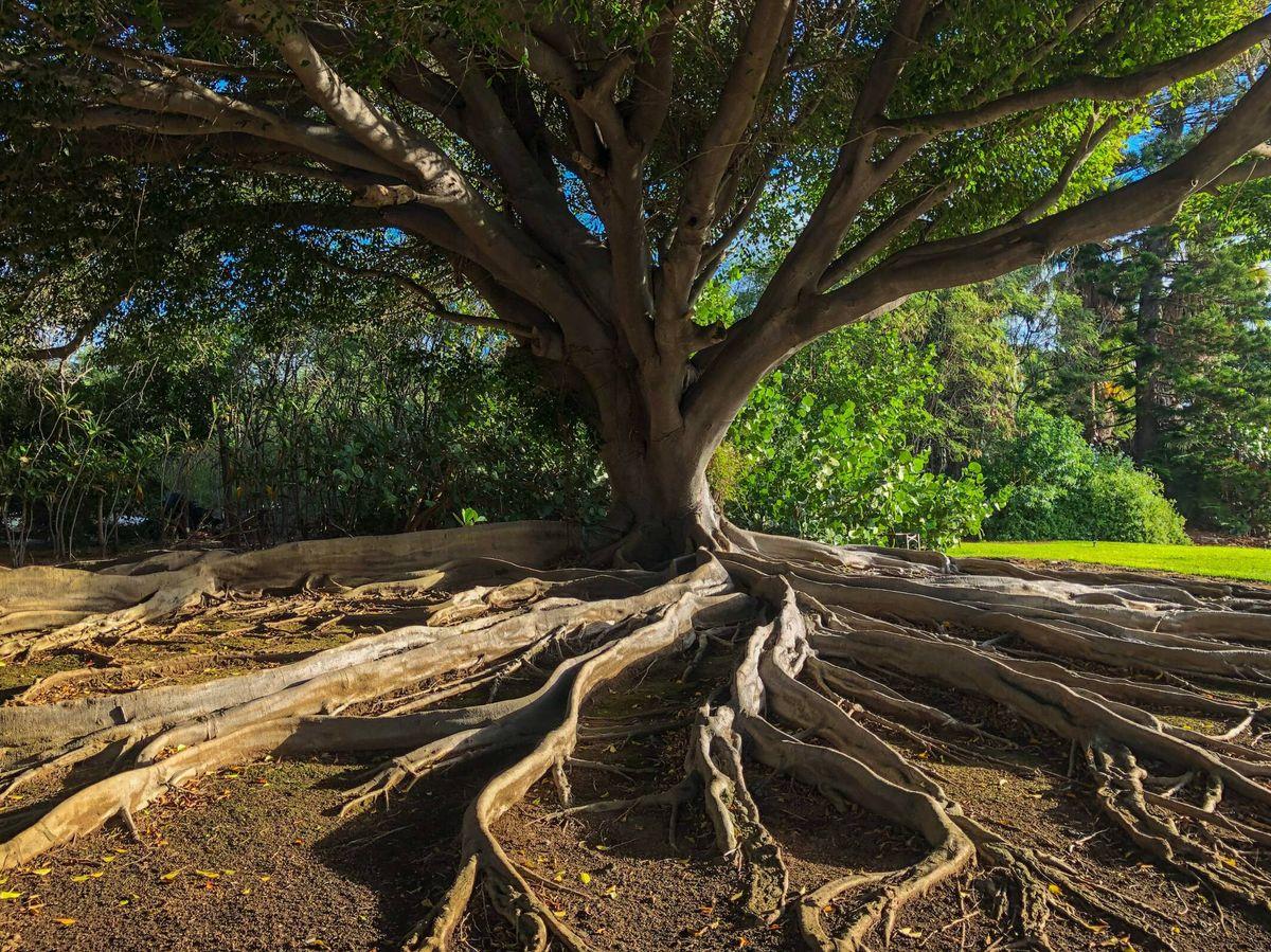 Foto: La crisis climática debilita las raíces de las plantas, tanto de los árboles como de los cultivos. Unsplash