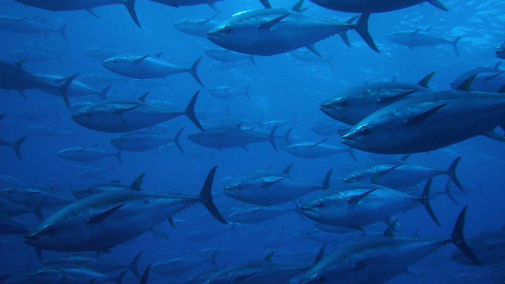Foto: Banco de atunes rojos en el Mediterráneo. (ICIJ)