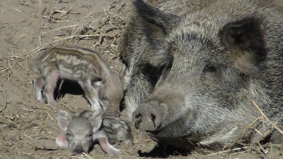 Foto: Imagen de archivo de un jabalíe junto a sus crías (EFE)