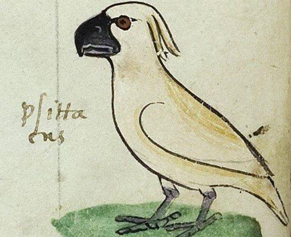 Foto: La cacatúa blanca encontrada en el manuscrito del emperador Federico II. (Biblioteca Apostólica Vaticana)