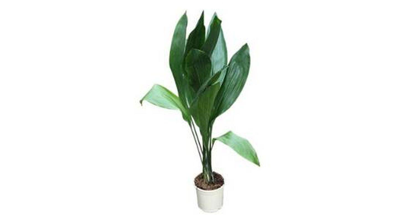 Plantas de interior Aspidistra elatior conocida como idioma de la suegra