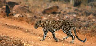Post de Un leopardo mata a un monje que meditaba en un bosque de la India