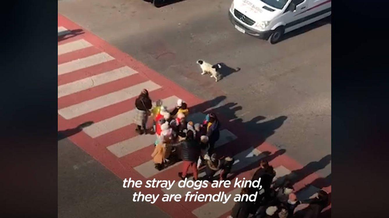 Un trabajo impagable: el perro callejero que ayuda a los niños a cruzar el paso de cebra