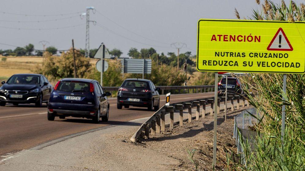 Foto: Proyecto pionero en Ciudad Real que busca reducir atropellos de nutrias. (EFE)