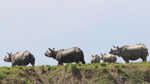 Nace Atanasio, un rinoceronte blanco en cautividad en Chile