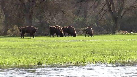Segovia acoge nueve bisontes europeos
