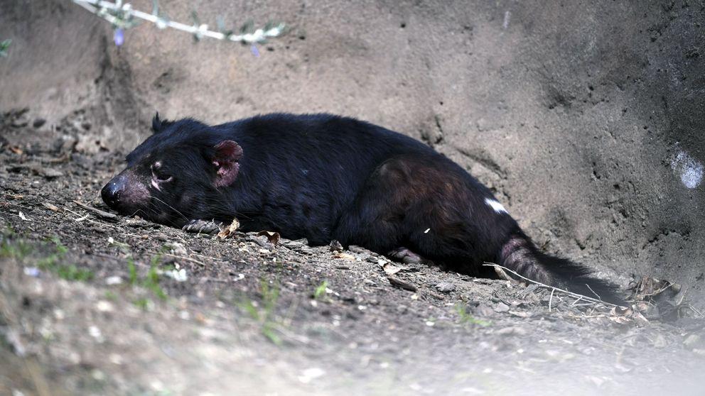 Los incendios que arrasan Australia han matado ya a 500 millones de animales