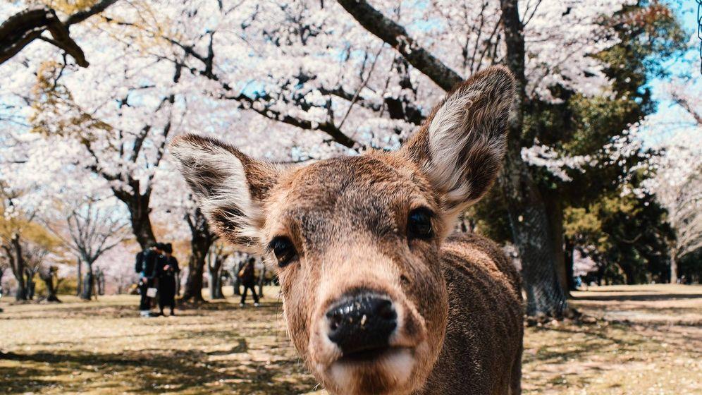 Foto: Uno de los ciervos del Parque de Nara. (Pixabay)