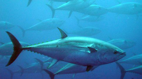 El atún rojo se recupera de la pesca pirata del pasado y se dispara su consumo