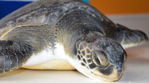 Se multiplican los casos de tortugas atrapadas por plásticos