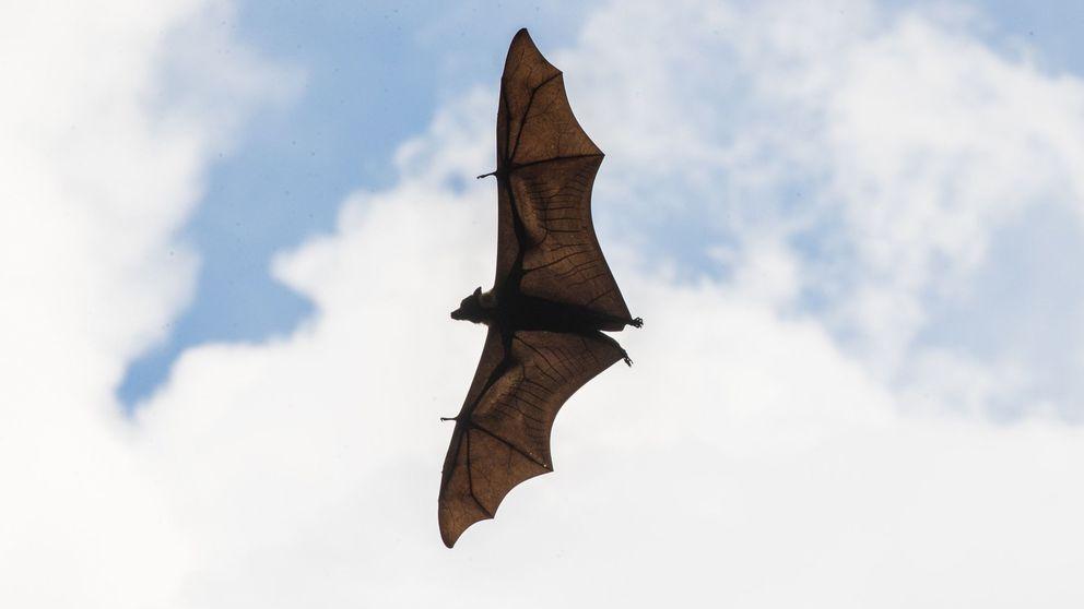 La gran (y desconocida) habilidad de los murciélagos para cazar insectos