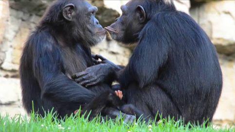 Chimpancés del zoo de Valencia adoptan a una cría repudiada por su madre