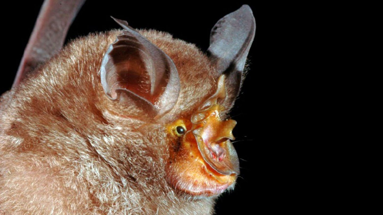 Murciélago de herradura. (EFE)