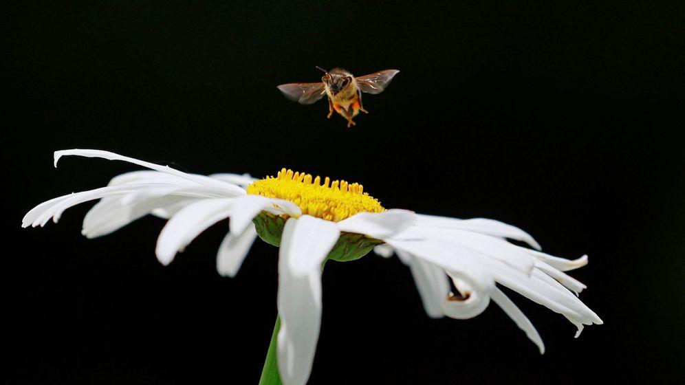 Foto: Una abeja polinizando una flor. Foto: EFE Robert Ghement