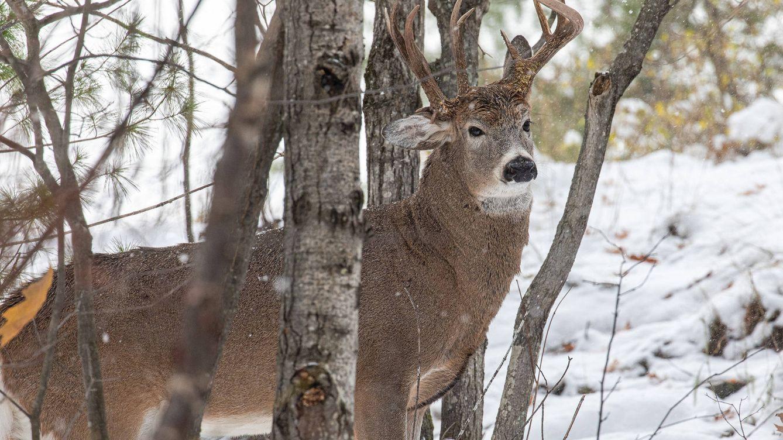 Fotografiado un ciervo de 3 cuernos, un ejemplar único entre un millón