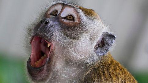 Macacos de cola larga en Malasia