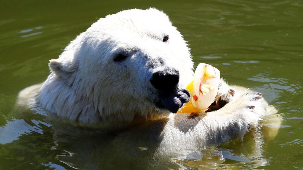Fruta helada para refrescar a los osos polares de Berlín en plena ola de calor