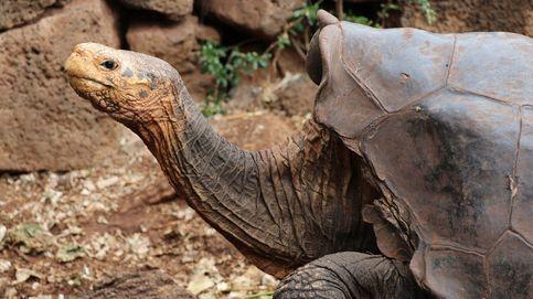 Diego, la tortuga inseminadora que ha salvado la especie