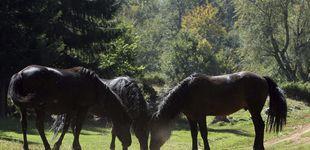 Post de Alerta en la ancestral 'rapa das bestas': el caballo salvaje gallego, rumbo a la extinción