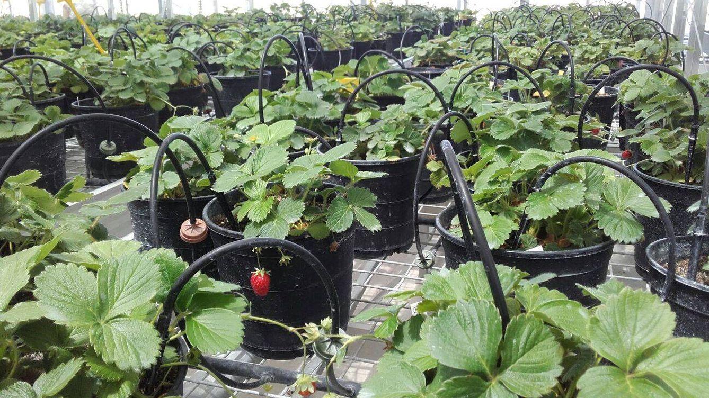 Nunca probarás estas fresas porque la UE no distingue edición genética de transgénicos