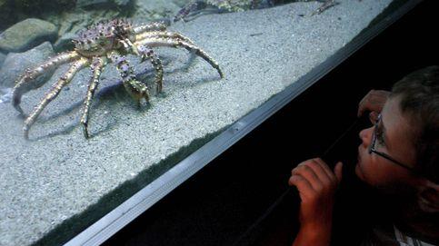 Los cangrejos pueden aprenderse un laberinto y recordar rutas