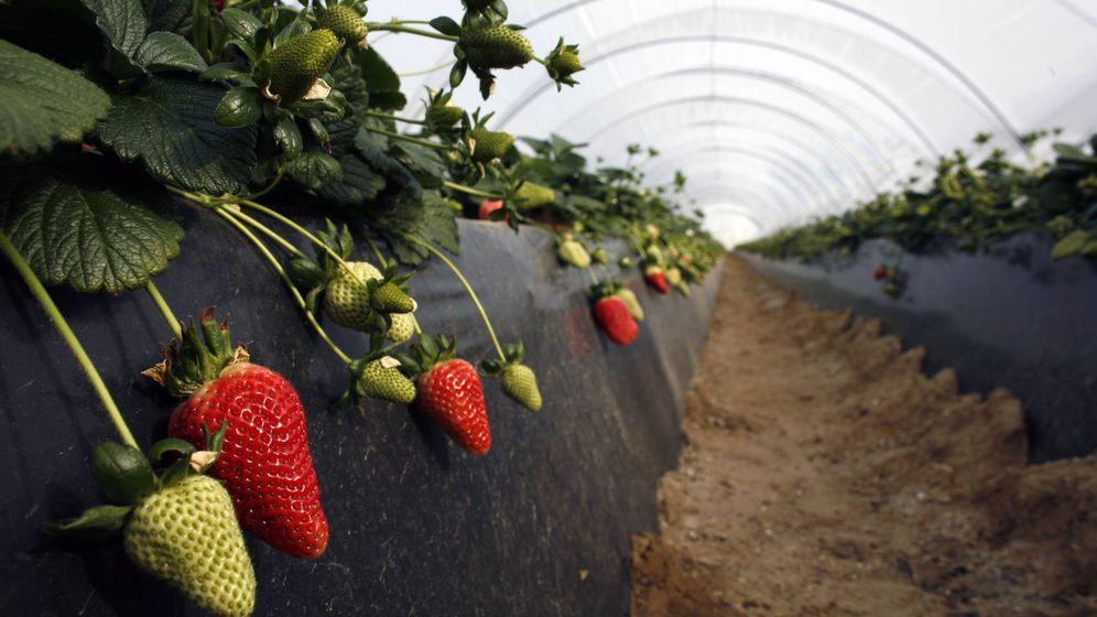 Foto: Invernaderos de fresas en Rociana. (Reuters)