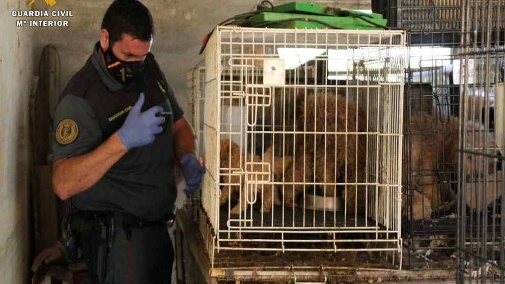 La Guardia Civil encuentra 544 perros en muy malas condiciones en una fica de Maella