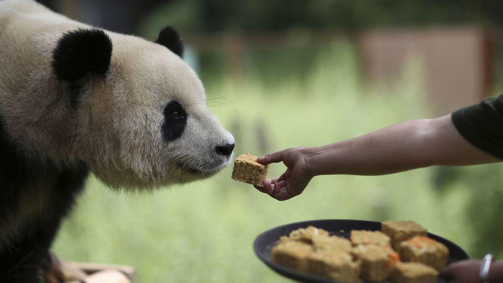¿Por qué es tan difícil que nazca un oso panda?