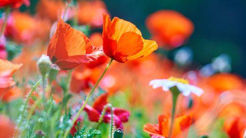 Riesgos en las semillas de amapola (de sándwiches y galletas): contienen opio