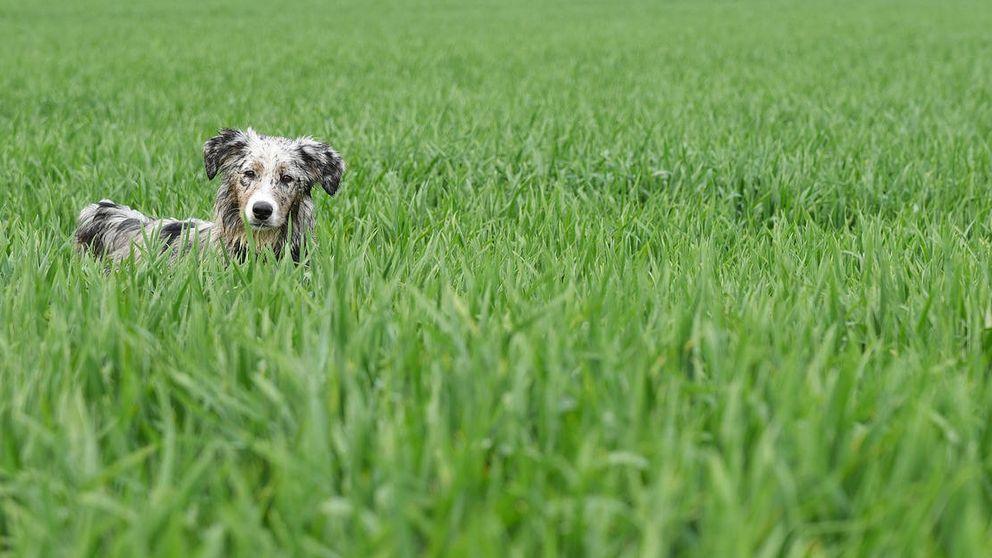 ¿Por qué los perros y los gatos comen hierba? Adiós al falso mito de la purga