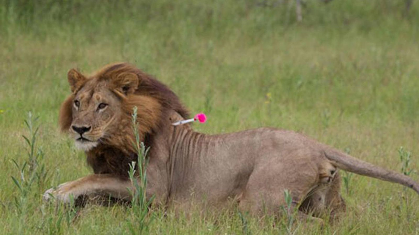 Foto: Una de las leonas con melena de Botsuana. (Simon Bayes)