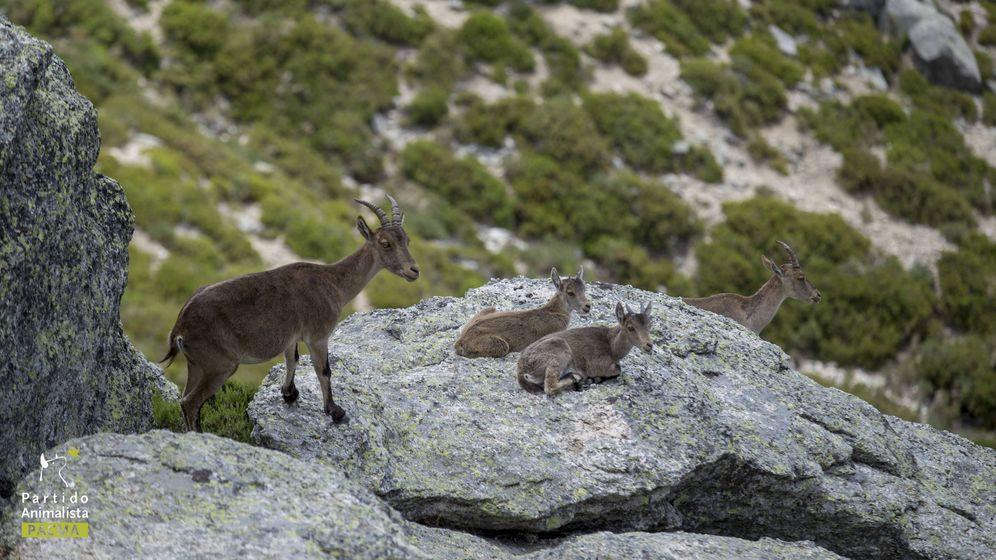 Foto: Varios ejemplares de cabras montesas